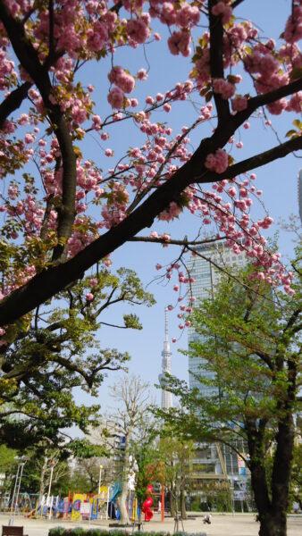 八重桜スカイツリー
